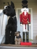 Giant Schnauzer, 2.5 years, Black